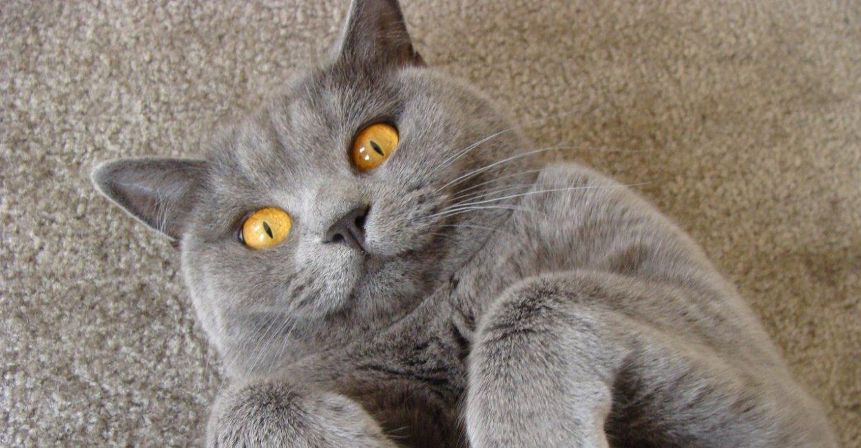 Овариореминантный синдром кошек и собак