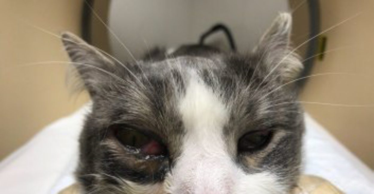 Клинический случай. Ретробульбарный абсцесс у кота.